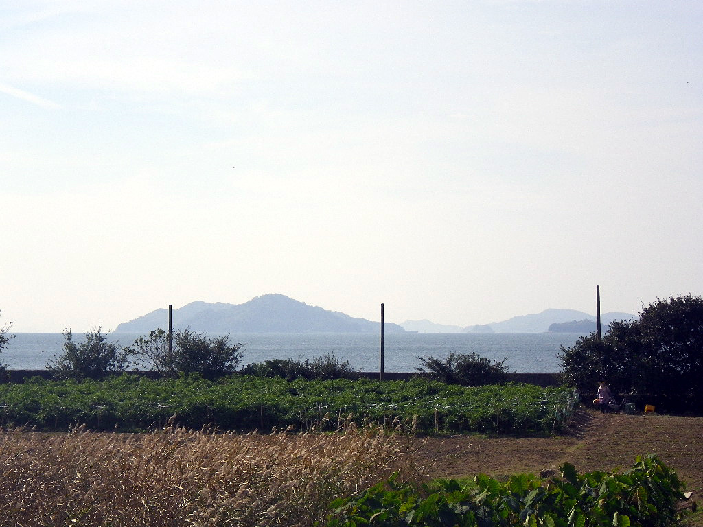 手島特産の唐辛子畑
