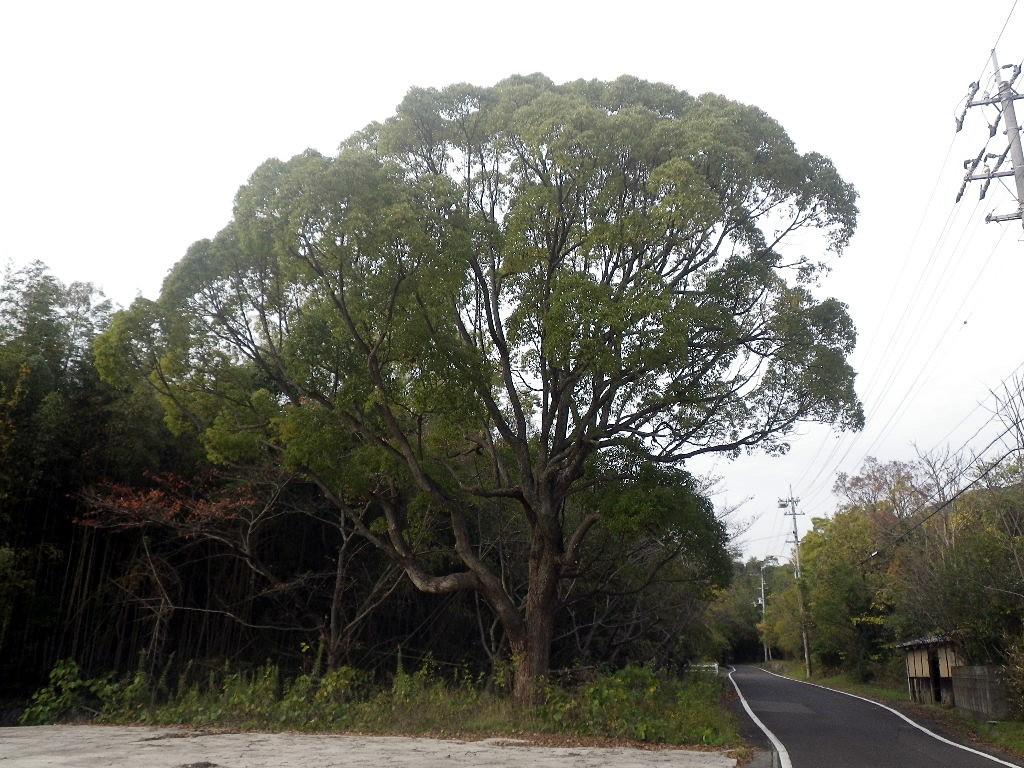 大きなクスノ木