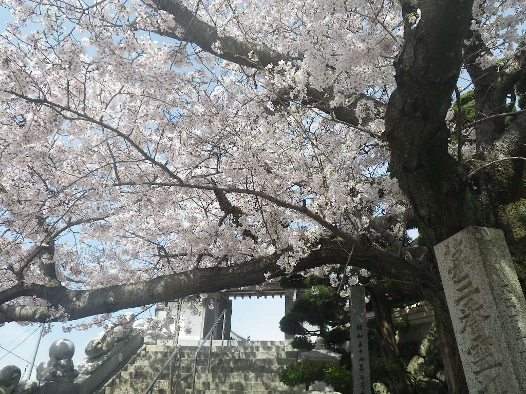 坂手港、桜が満開